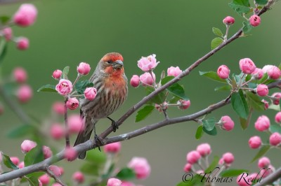Common-House-Finch-in-Crabapple-Blossoms