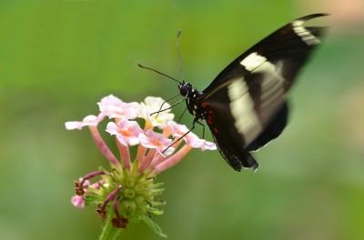 papillon-GLaroche